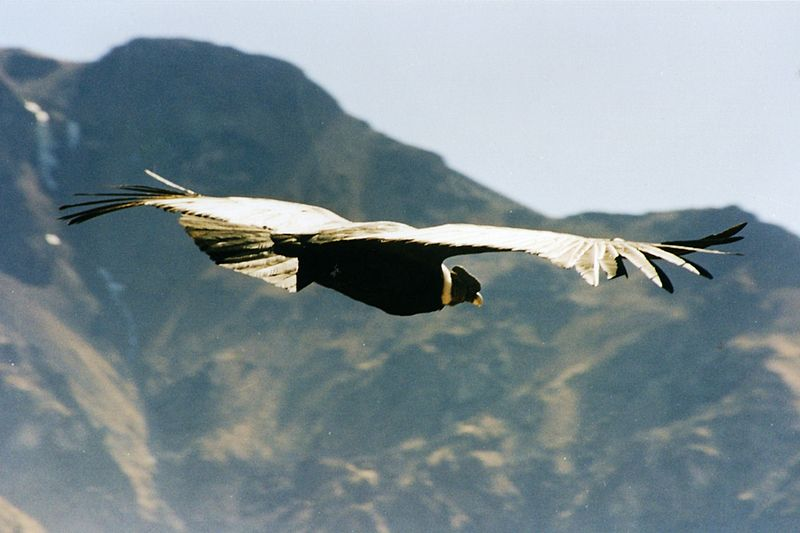 Bir And kondoru süzülürken