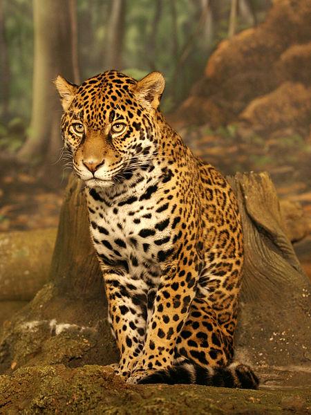 Jaguar (<i>Panthera onca</i>)