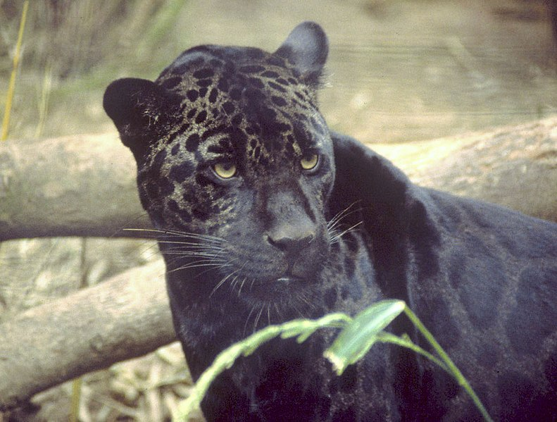Yüksek melaninli bir jaguar. Nam-ı diğer kara panter.
