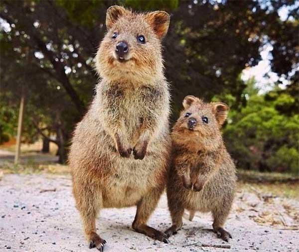 Quokka - Kısa Kuyruklu Kanguru