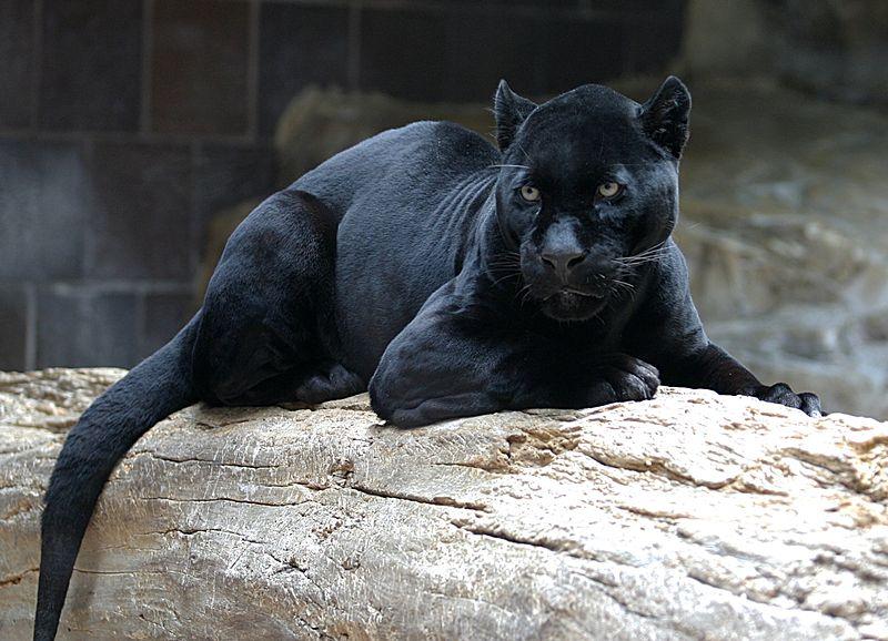 Siyah Jaguar