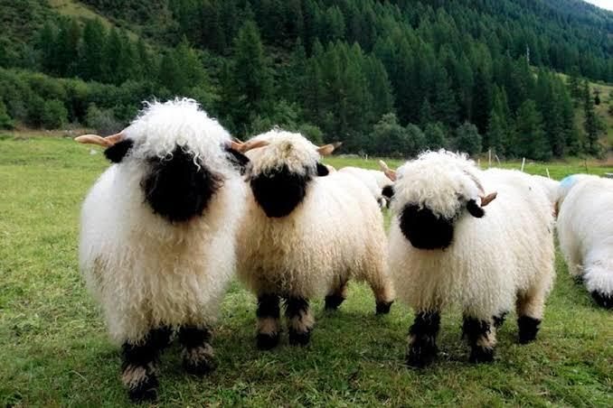 Valais Siyah Burunlu Koyunu
